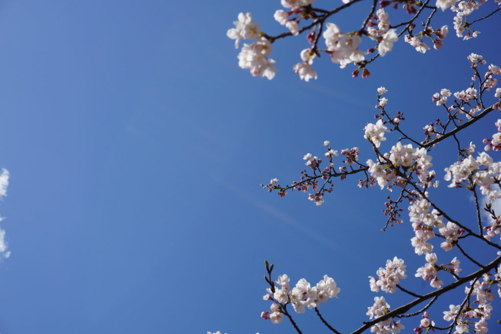 北陸大学の桜
