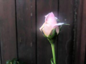 バラのオーラ